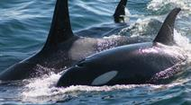 Viele Wale starben in Alaska. (Symbolbild)