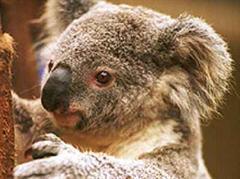 Koalas sind vom Aussterben bedroht