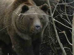 In Rumänien kommt es öfters zu Bärenattacken. (Archivbild)
