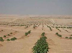 Jatropha-Anbau bei Luxor in Ägypten.