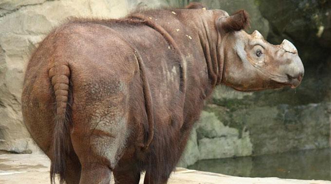 Das Sumatra-Nashorn gehört zu den bedrohten Tierarten.