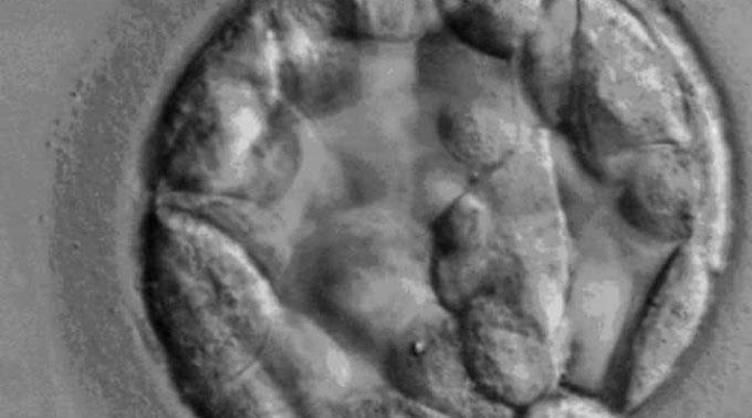 Embryo. (Symbolbild)