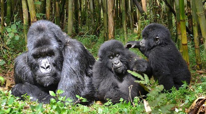 Berggorillas in Afrika sind gefährdet.