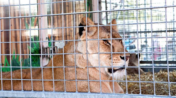 Ein Zirkuswagen ist nicht die Umgebung, in die eine solche Löwein eigentlich gehören würde.